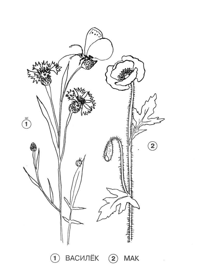 Картинка раскраска цветы луговые