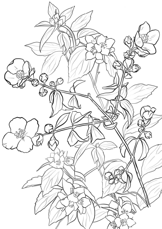 картинки для раскрашивания цветок жасмин действенный способ
