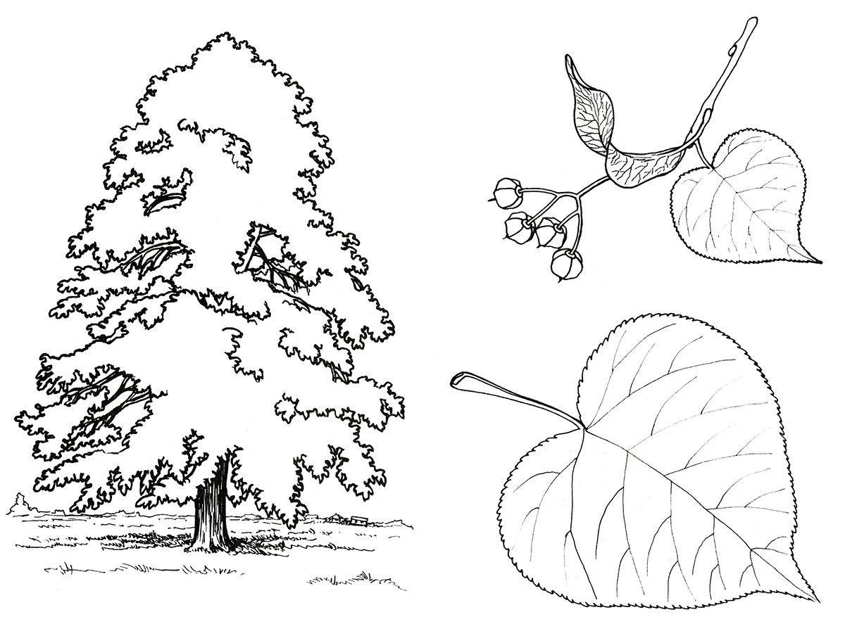 примеру, картинки раскраски растения деревья сегодня четыре