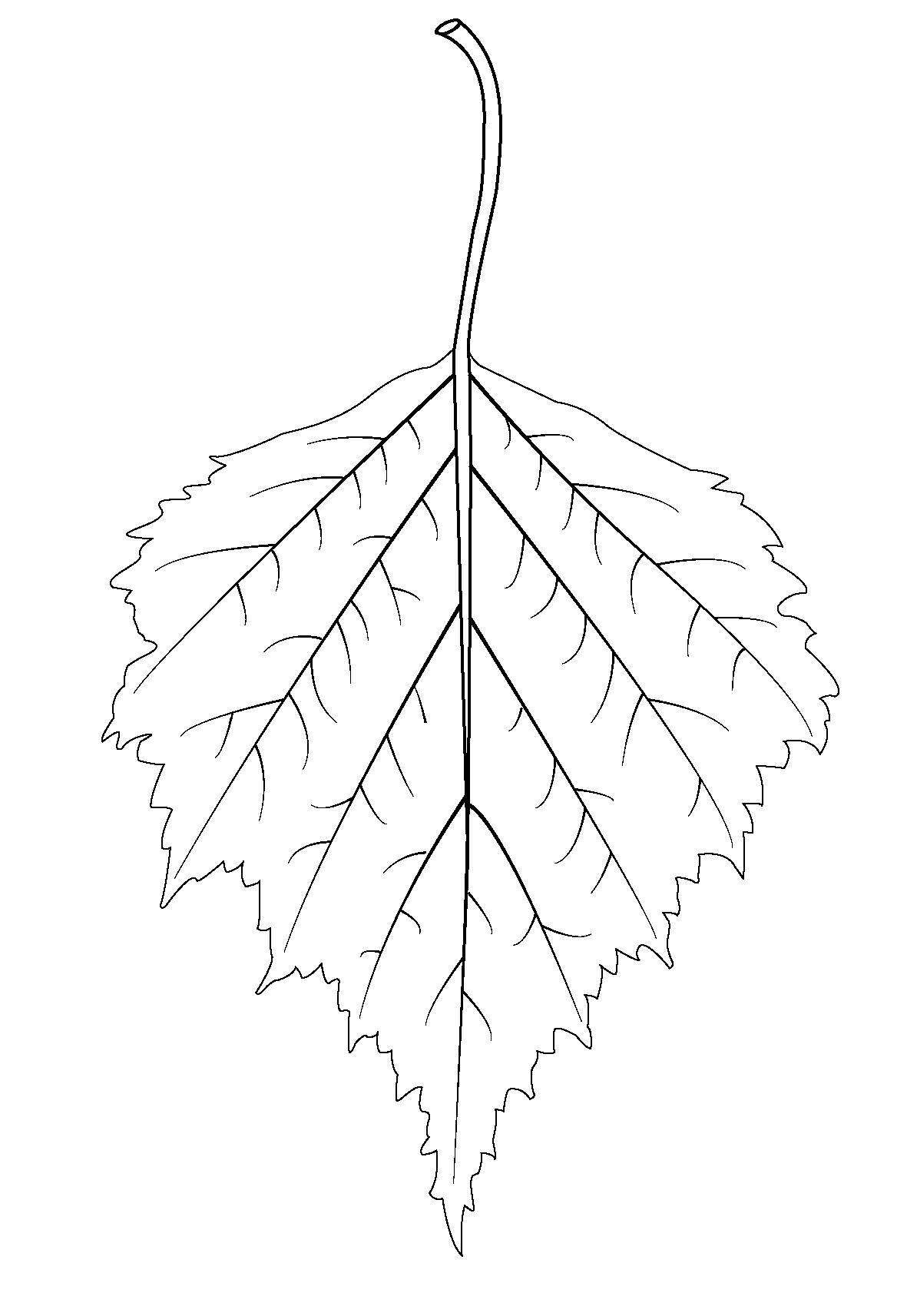 Картинка раскраска листья березы