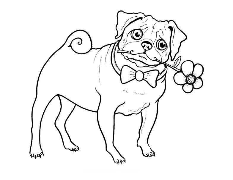 решение картинки раскраски щенки мопса раз