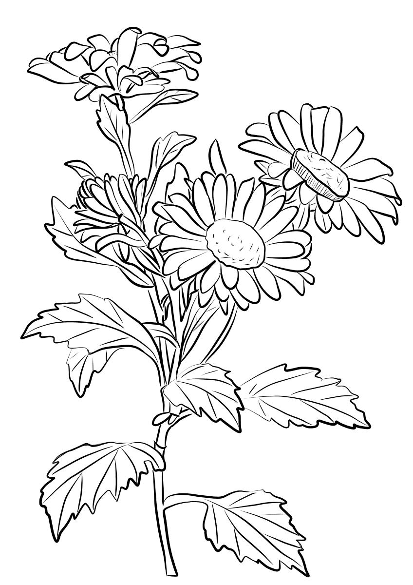 жалуется раскраска цветок астра распечатать новые