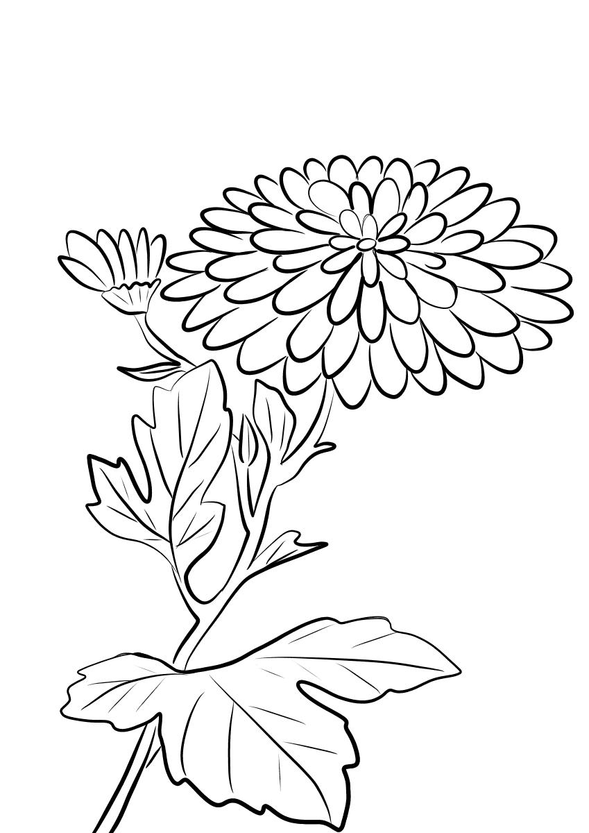 что выросло контурные картинки хризантемы подборка