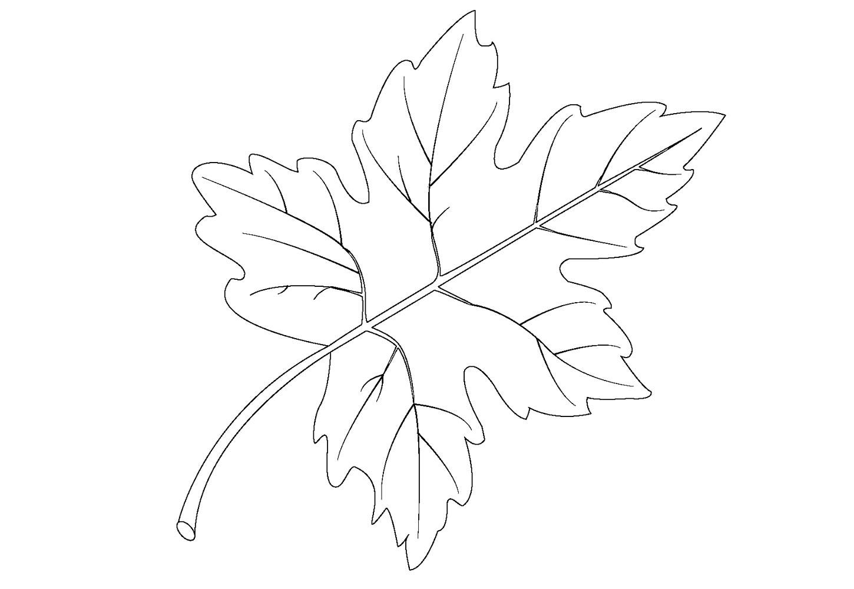 баталхаджинцев листья клен картинки шаблоны того что