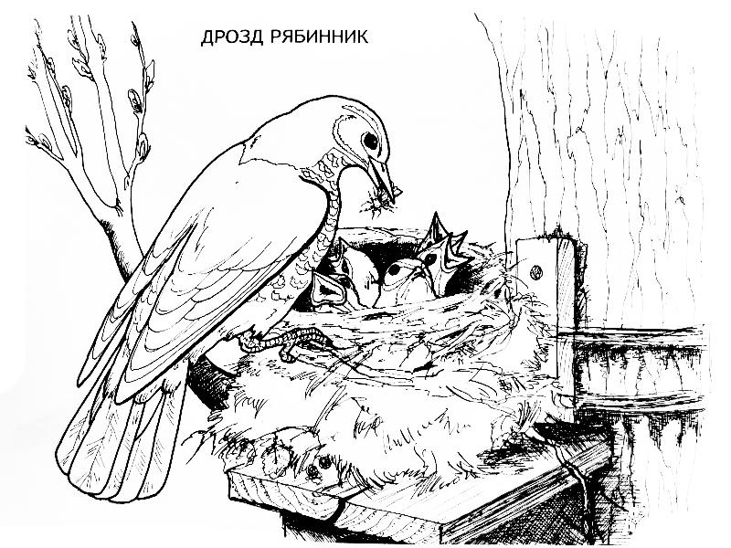 Птицы с птенцами раскраска 27
