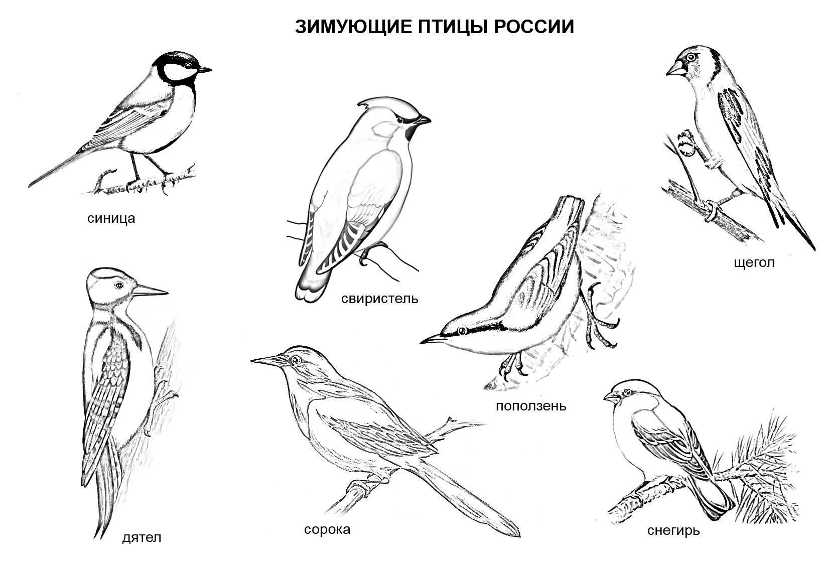 Птицы зимуют раскраска