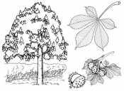 Клен с листьями