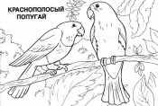 Краснополосый попугай