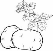 Картофель с ростком
