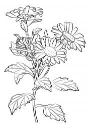 Прекрасные хризантемы