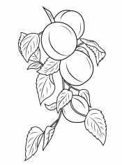 Ветка с абрикосами