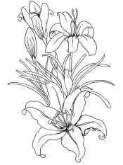 Рисунок лилия