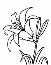 Одна лилия