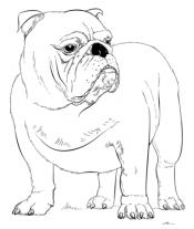 Рисунок Бульдог