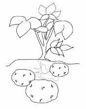 Картофель под землей
