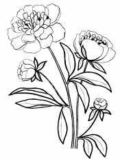 Цветки пиона