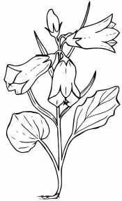 Растение Колокольчик