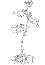 Рисунок Картофель