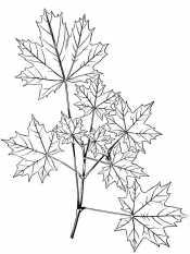 Композиция из листьев клена