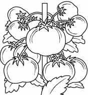 Раскраска помидоры на ветке