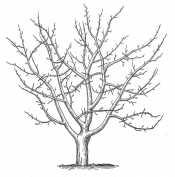 Дерево без листвы