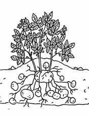 Картинка картошка