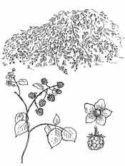 Цветок ежевики
