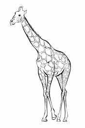 Взрослый жираф