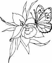 Бабочке на ирисе