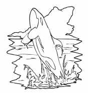 Косатка над водой