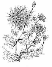 Рисунок Хризантемы